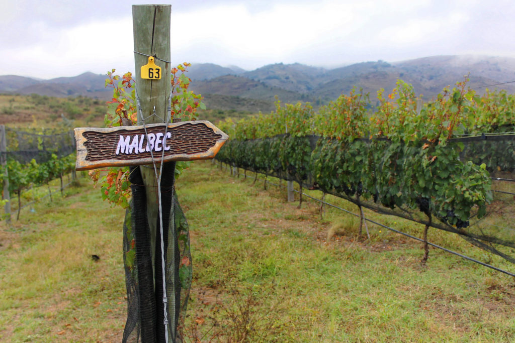 A French Malbec vineyard could look like this.